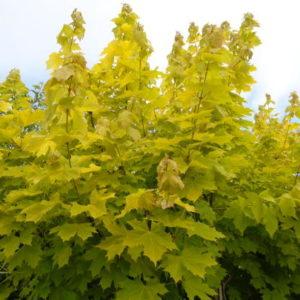 Клен остролистный Принсетон Голд <br>Acer platanoides Princeton Gold