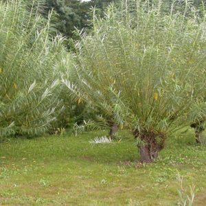 Ива прутовидная (Salix viminalis)