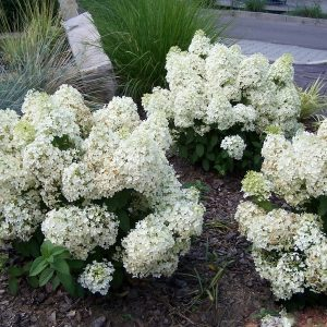 "Гортензия метельчатая ""Бобо"" – Hydrangea paniculata BoBo"