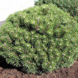 Сосна горная Бенджамин – Pinus mugo Benjamin