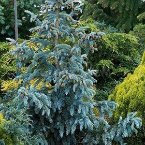Ель Энгельмана Глаука – Picea engelmanni Clauca