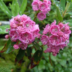 Кальмия узколистная Kalmia angustifolia