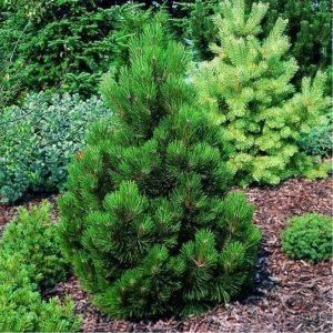 Сосна боснийская/белокорая Малинки – Pinus leucodermis Malinki