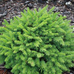Ель обыкновенная Пумила Глаука – Picea abies Pumila Glauca