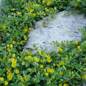 Вербейник монетчатый зеленый Lysimachia nummularia