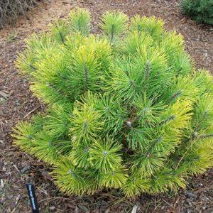 Сосна горная Винтерзон – Pinus mugo Wintersonne
