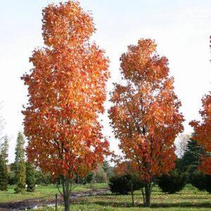 Клен красный Сканлон Acer rubrum Scanlon